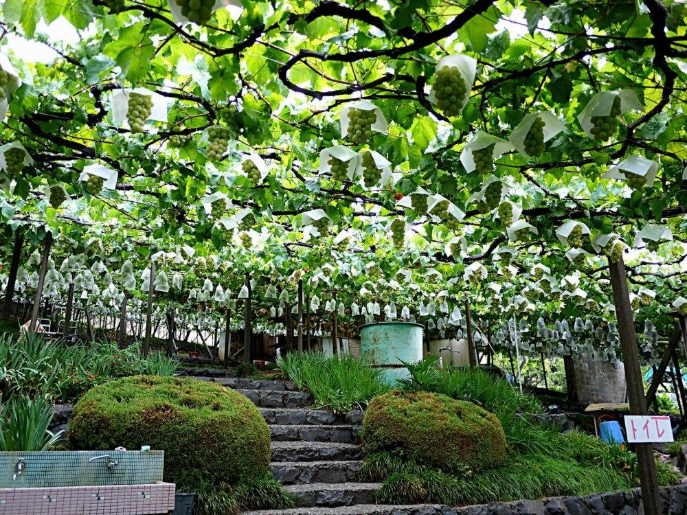 Vườn nho Atago-En